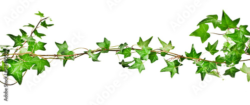 Green ivy plant (Hedera helix) isolated on white background Wallpaper Mural
