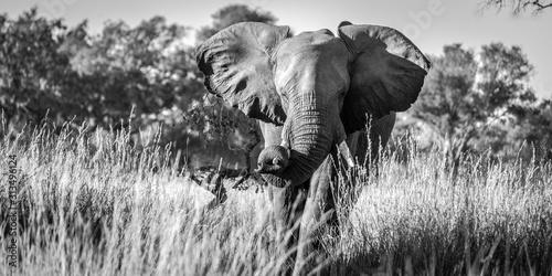 Elefantenansturm B&W Panorama
