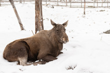 Wild Female Moose Laying On Th...