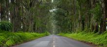 Tree Tunnel, Eucalyptus, Kauai...