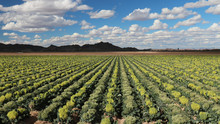 Field Of Broccoli Grown For Se...