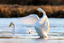 Whooper Swan In Natural Habitat. Early Morning On Swamp Erens.