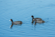 American Coots Swimming On Water .