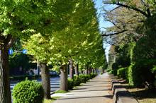 銀杏の街路樹のある歩道を撮影した写真