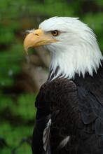 Bald Eagle Profile With Feather