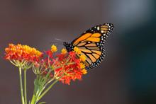 Butterfly 2019-188 / Monarch B...