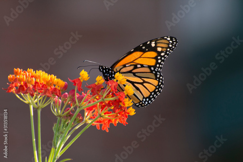 Butterfly 2019-188 / Monarch butterfly (Danaus plexippus) Canvas Print