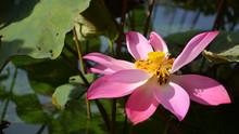 Calyx Green Raw, Lotus Seed, B...