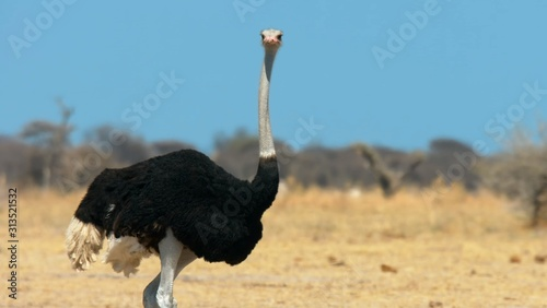 Fotomural Here in the photo we see a large ostrich in hot Africa.