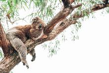 A Cute Sleeping Koala On A Tree In Australia Not Far From The Bushfires