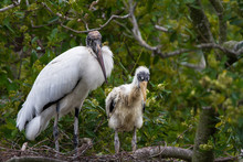 A Wood Stork And It's Only Chi...