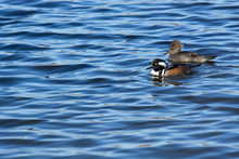 Male And Female Hooded Mergans...