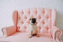 Pug Dog Sitting On A Pink Sofa...