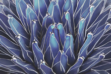 Queen Victoria Century Agave Plant In Blue Tone Color Natural Abstract Pattern Background