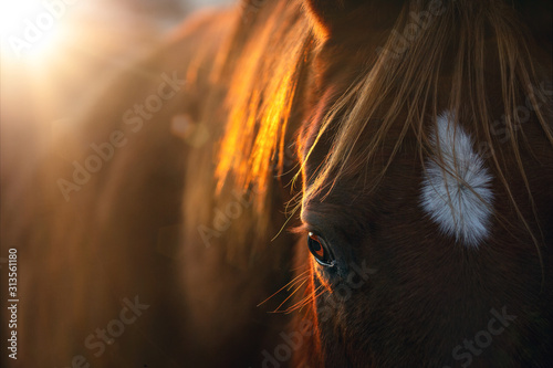 Fototapeta Close-up of a horse in the morning sun obraz