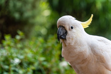 Portrait Of A Yellow Crested Cockatoo