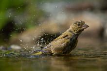 European Greenfinch Bathing In...