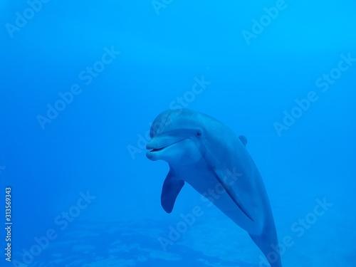 Fototapety, obrazy: Delfino