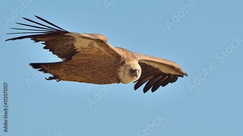 Griffon Vulture (Gyps fulvus), Crete Canvas Print