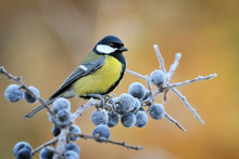 Parus Major Detail, Great Tit On Frozen Branch With Blueberries