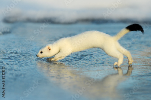 Valokuvatapetti Mustela erminea like a state in winter snow, Weasel. Ermine