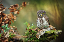 Owl In Beautiful Forest. Pygmy Bird Owl In Snowfall. Small Owl In Natural Habitat With Mouse In Winter. Glaucidium Passerinum