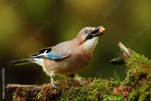 Stampa su Tela Eurasian Jay bird on old stump. (Garrulus glandarius)