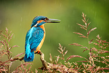 Kingfisher Bird With Fish Deta...
