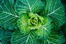Close Up.natural Fresh Green C...