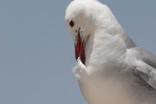 Audouin's Gull Preening