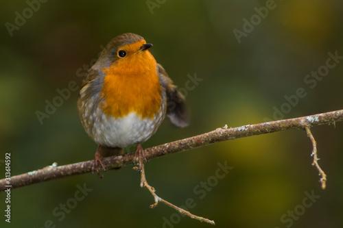 robin on a branch Canvas Print