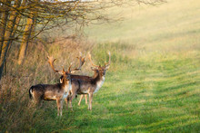 Fallow Deer - Dama Dama In The...
