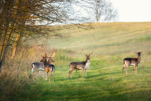 Fallow Deer - Dama Dama In The Forest