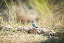 Laughing Dove Sitting On Ground