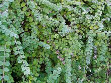Symphoricarpos Chenaultii - Symphorine De Chenault 'Hancock', Un Arbuste Rampant Aux Rameaux Souples Couvre-sol à Petites Baies Roses Teintées De Blanc