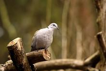 Eurasian Collared Dove (Streptopelia Decaocto) Bird Pigeon