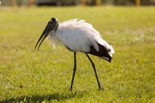 An American Wood Stork Walking...