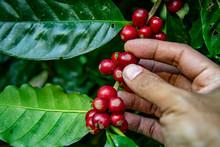 Farmer Picking Ripe Cherry Beans. Coffee Farmer Picking Ripe Cherry Beans For Harvesting
