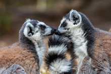 Two Ring Tailed Lemurs Face To...