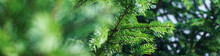 Green Pine Coniferous Spruce B...