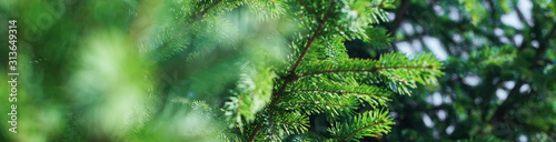 green pine coniferous spruce branch needle closeup