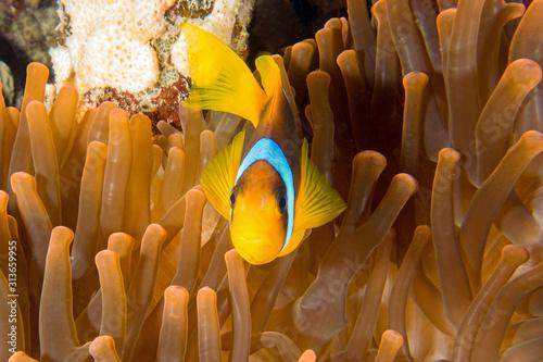 Red Sea Clown fish, anemone fish, Amphiprion bicinctus, forming a symbiotic rela Wallpaper Mural