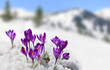 canvas print picture - Spring landscape of blooming flowers violet crocuses ( Crocus heuffelianus ) on glade in mountains covered of snow. Carpathian mountains