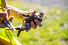 Environmental Workers Banding Mourning Doves