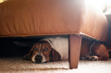 Basset Hound Hiding Under Foot...