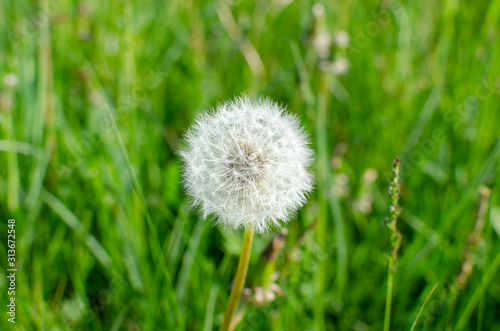 dmuchawiec, łąka, kwiat, trawa, zieleń, lato, wiosna, wakacje, wiatr, ulotne, delikatne, mniszek, lekarski,  - 313672548