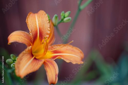 kwiat, pomarańczowy, zielony, żółty, roślina, zapach, rozwój, wiosna, ogród, płatek, pyłek, delikatne, makro, małe,