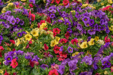 Calibrachoa, A Genus Of Plants In The Solanaceae Family, Evergreen Short-lived Perennial And Subshrubs
