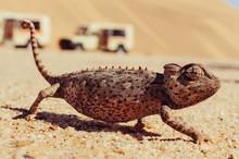Chameleon Walking On Sand Behind Cars