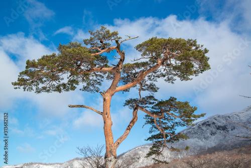 Fototapeta 赤松と雪山 obraz na płótnie